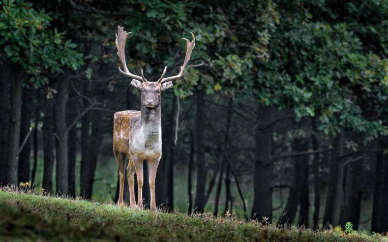 fallow-deer-984573-5879e8b19f3b8__880