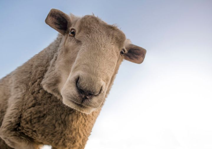 sheep-1822137-5879ebb2d1f03__880