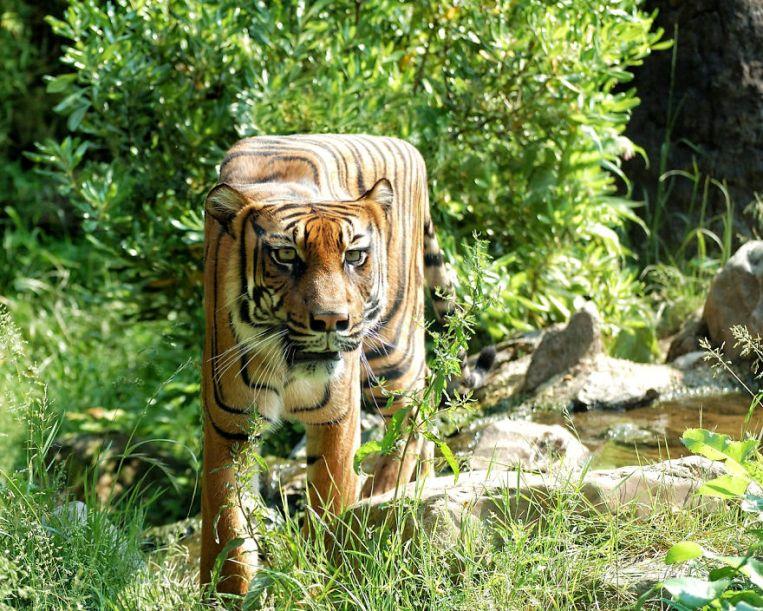 tiger-8057-5879ebfb5855d__880